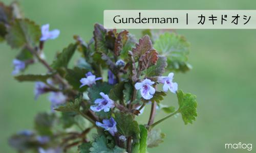 gundermann | カキドオシ