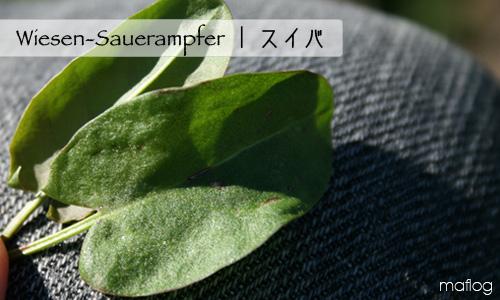 sauerampfer | スイバ